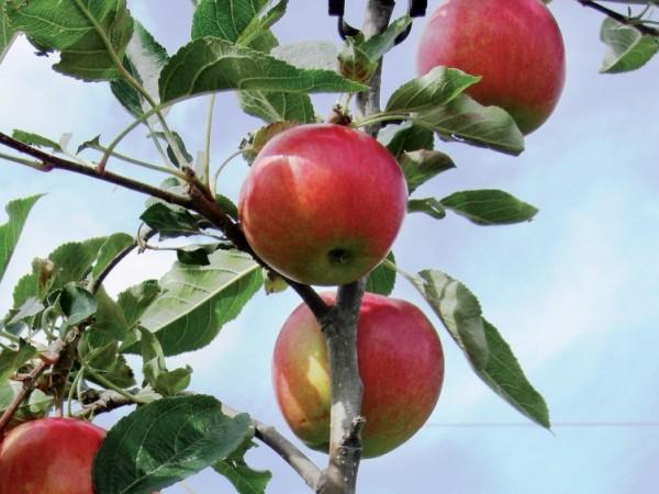 Äpfel, frisch